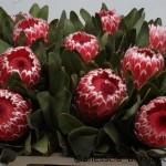 Protea Candida