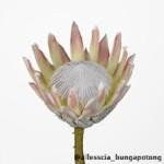 Protea Cyn