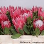 Protea Madiba