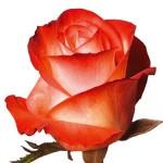 rose farfalla