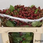 Rubus Chester