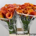 Zante Orange